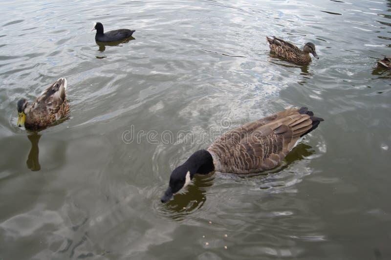 Kaczki w wodzie zdjęcia royalty free