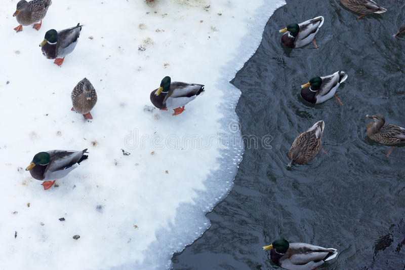 Kaczki w zimie zdjęcie stock