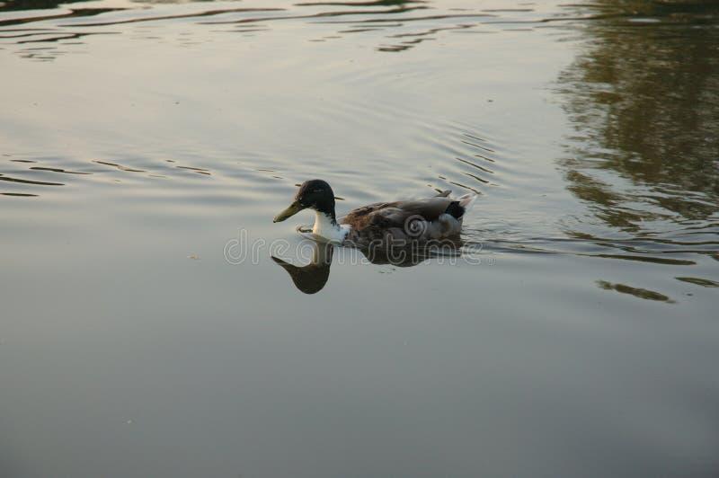 kaczki wody fotografia royalty free