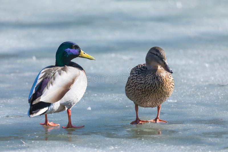 Kaczor i odpoczywa na lodzie miasto wiosny jezioro w słonecznym dniu lub staw obraz stock