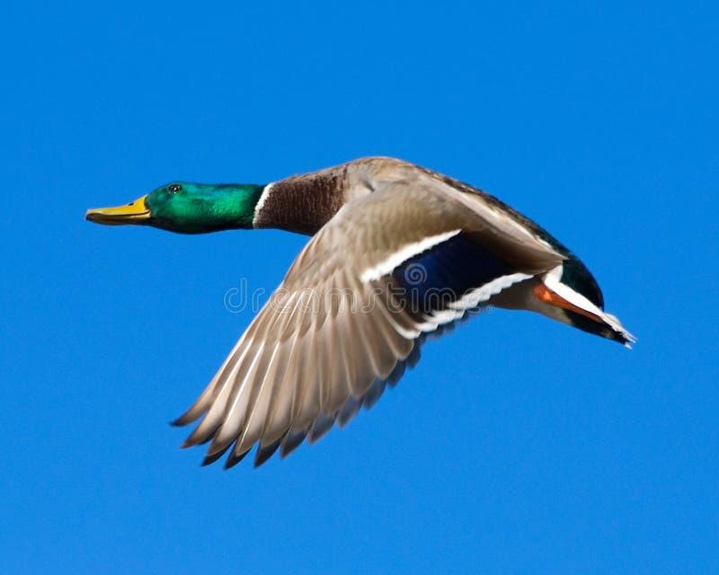 kaczora mallard lotu zdjęcie royalty free