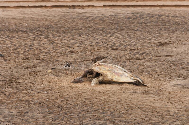 Kadaver av den döda sköldpaddan på stranden, med seagulls royaltyfri bild