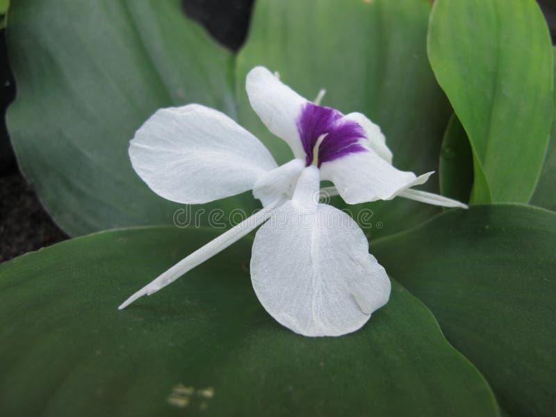 Kaempferia Galanga, plante tropicale asiatique de fleur blanche, gingembre aromatique photos libres de droits