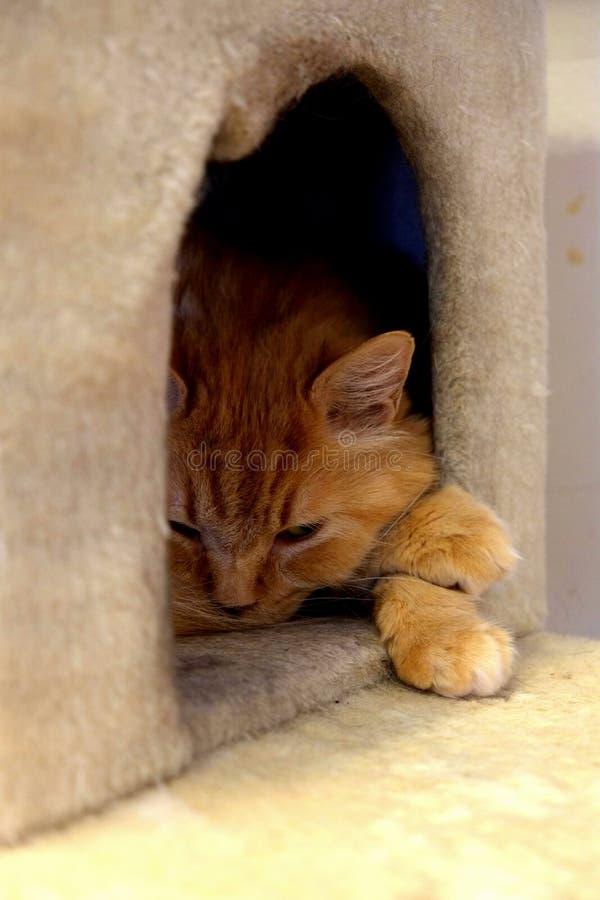Kafékatter - Kitty Napping i bungalow royaltyfri bild