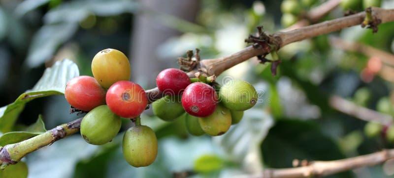 Kaffe-tree. Guatemala arkivbilder