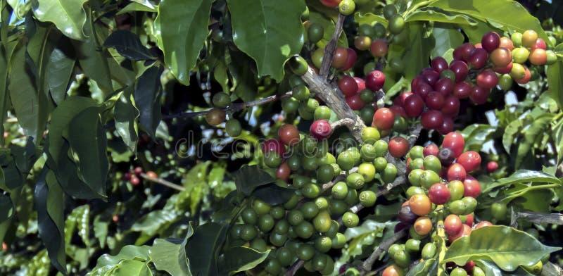 Kaffeböna på brun bakgrund arkivbilder