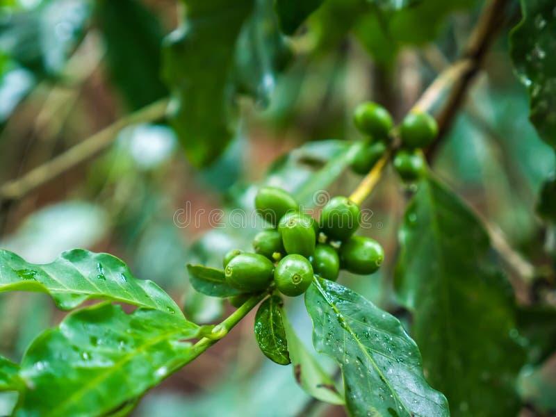 Kaffebönaväxt royaltyfri foto