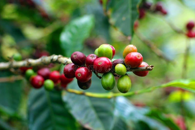 Kaffebönor, Boquete, Chiriqui, Panama royaltyfria foton