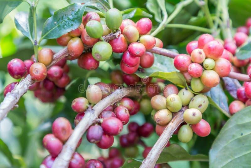Kaffebönor på filialen i kaffekoloni brukar arabicakaffe nordliga lantliga thailand Kaffebönor som är klara att välja grillat nyt arkivbild