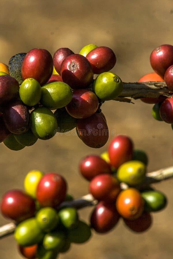 Kaffebönor på kaffetree arkivbilder