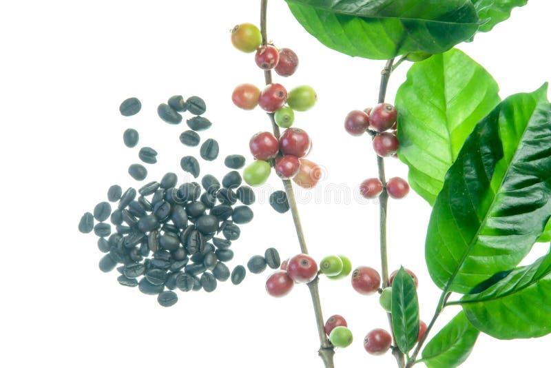 Kaffebönor på träd arkivfoto
