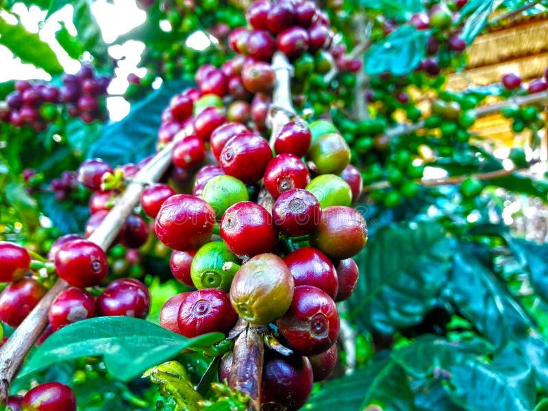Kaffebönor som är klara att skördas arkivbild
