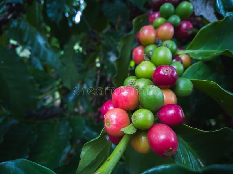 Kaffebönor som mognar, nytt kaffe på träd royaltyfri bild