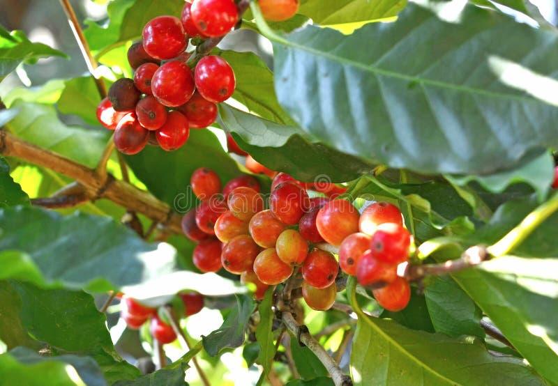 Kaffebönor som mognar på träd i nord av Thailand royaltyfria bilder