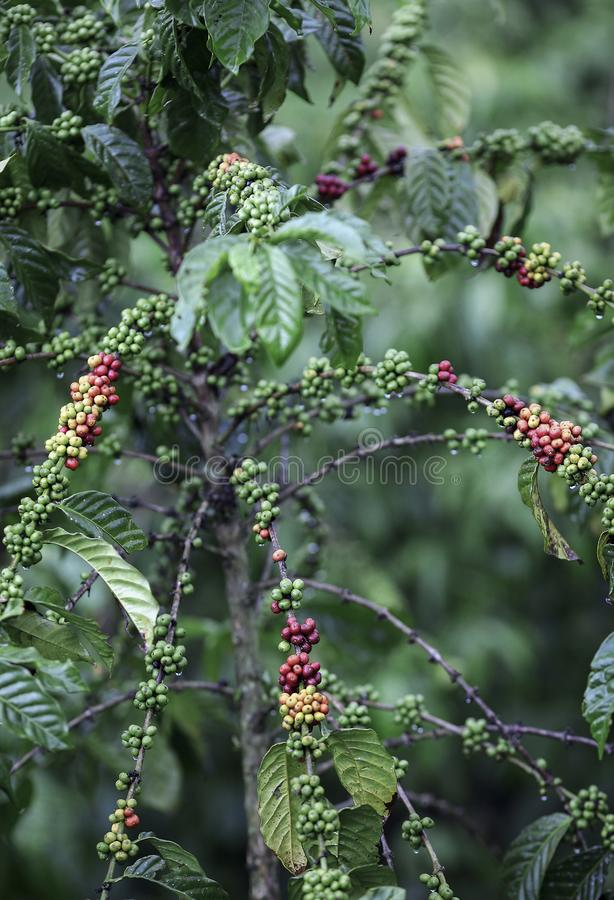 Kaffebönor som mognar på växten arkivbild