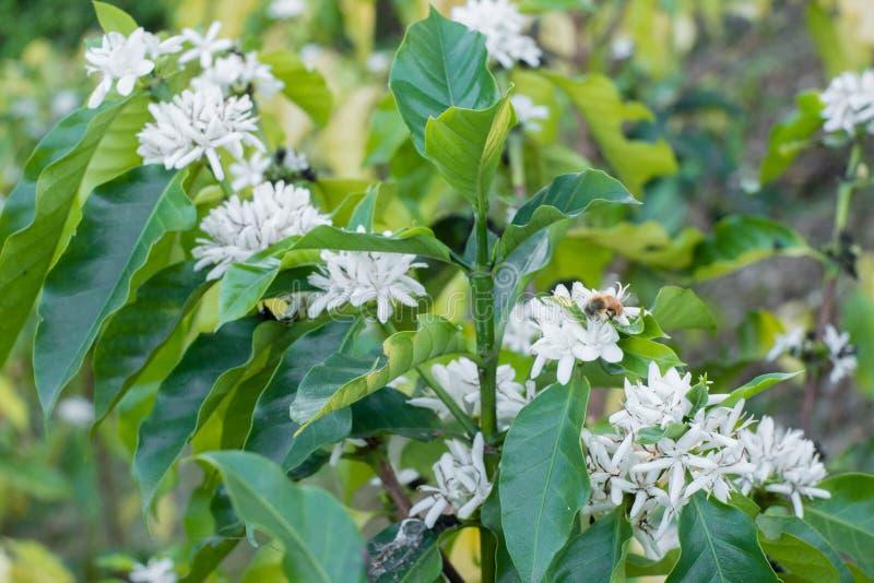 Kaffeblomma på slutet för blomma för färg för blomning för kaffeträd det vita upp royaltyfri foto
