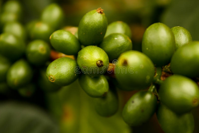 kaffecolombia green royaltyfria foton