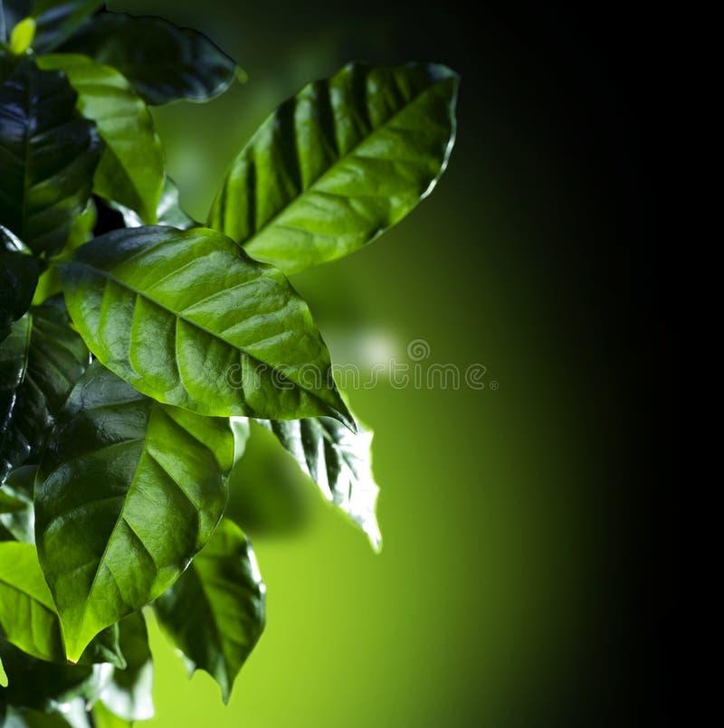 Kaffee-Arabica-Anlage stockbilder