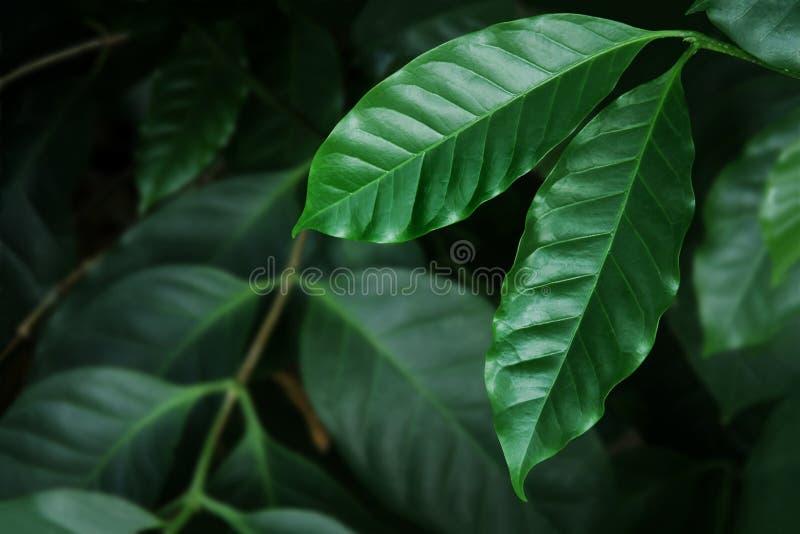 Kaffee-Blätter in dunkler Tone Color stockfotografie