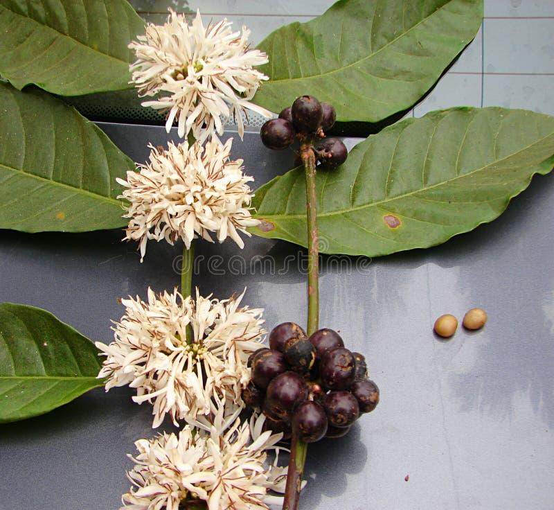 Kaffee-Blätter, weiße Blumen, Früchte und Samen - Coffea-Arabica-Anlage lizenzfreie stockfotografie