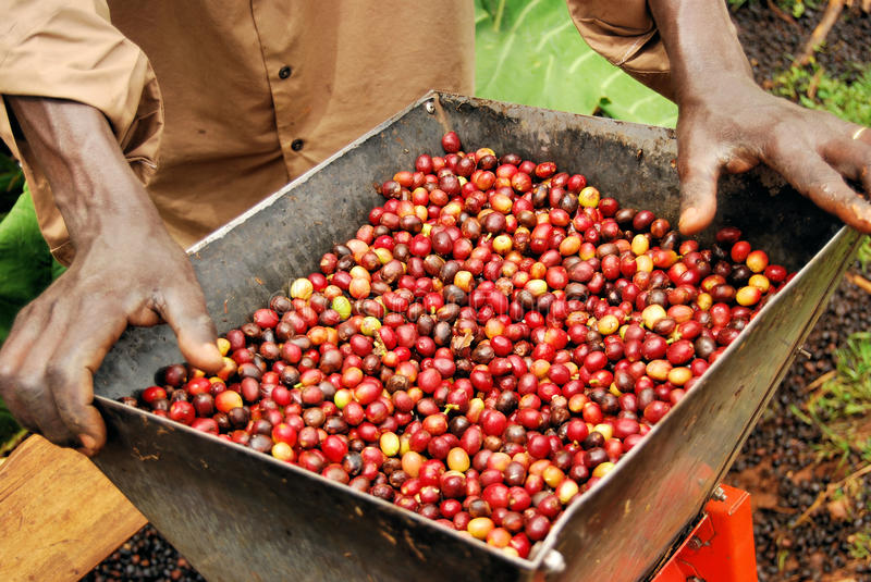 Kaffee in Uganda stockfotografie