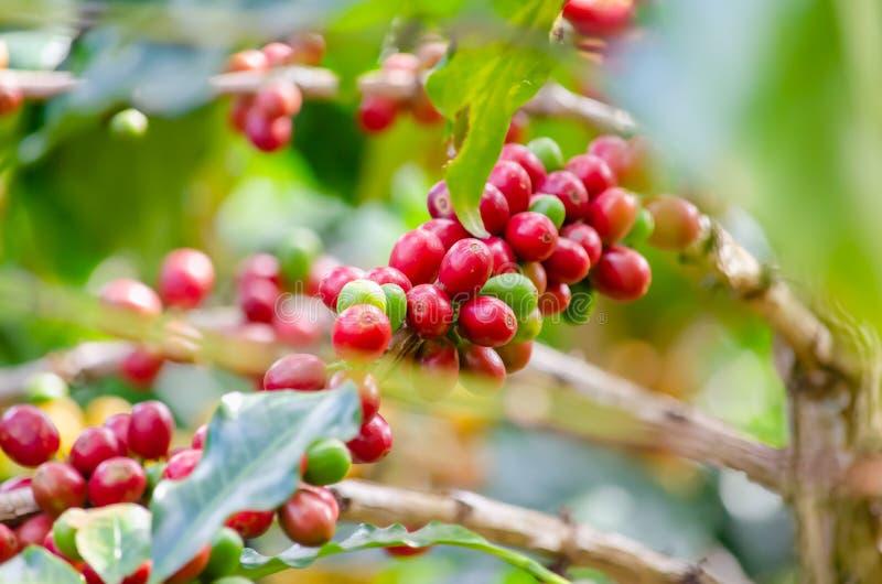 Kaffeeanlage mit reifen Kaffeebohnen lizenzfreie stockfotografie