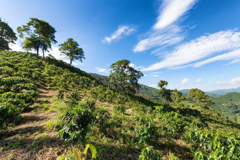 Kaffeebäume für Tage lizenzfreies stockbild