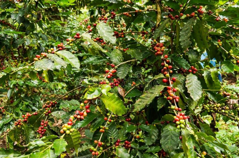 Kaffeebaum stockbild