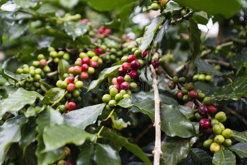 Kaffeebaum stockfotos