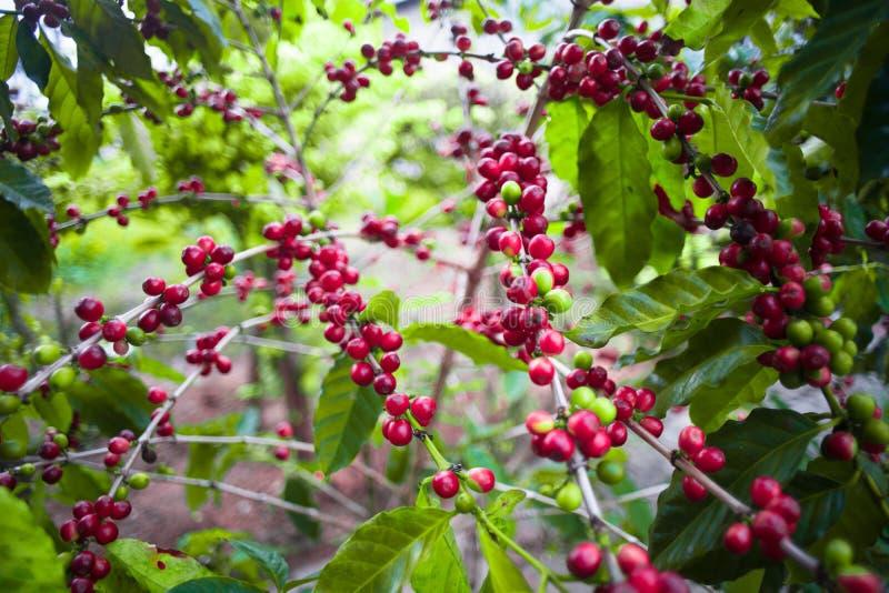 Kaffeebaum und Samen stockfotos