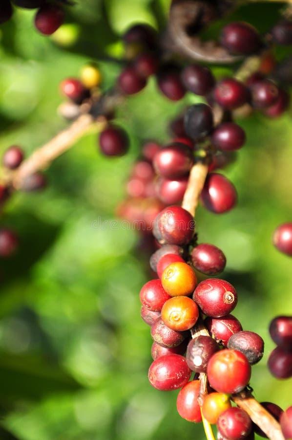 Kaffeebeere lizenzfreies stockbild