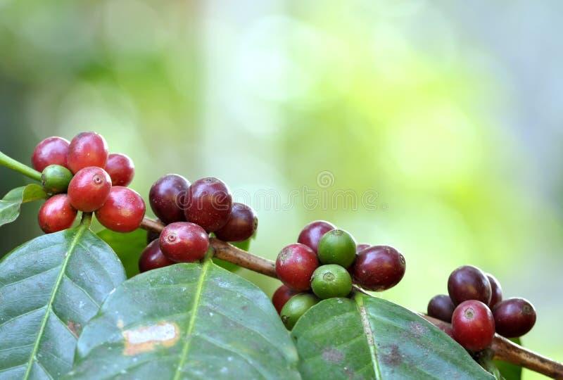 Kaffeebohne auf Baum stockbild