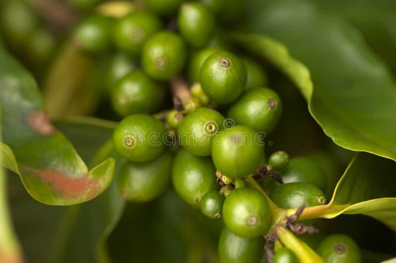Kaffeebohnen auf dem Zweig lizenzfreies stockbild