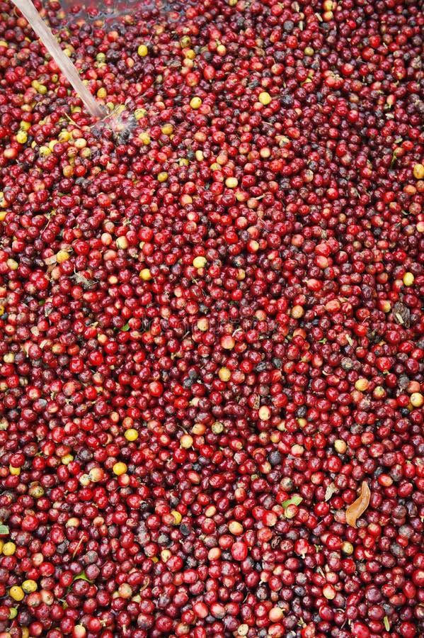 Kaffeebohnen, in der Ferment- und Wäschemethode stockfotos