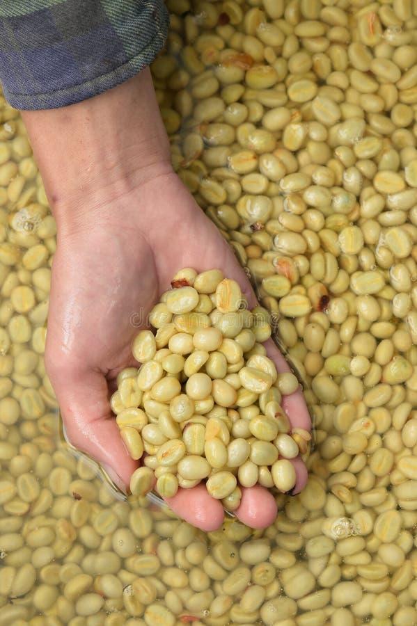 Kaffeebohnen, in der Ferment- und Wäschemethode lizenzfreies stockfoto
