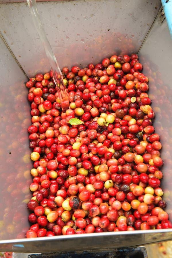 Kaffeebohnen, in der Ferment- und Wäschemethode lizenzfreie stockfotos
