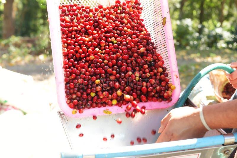 Kaffeebohnen, in der Ferment- und Wäschemethode stockfotografie