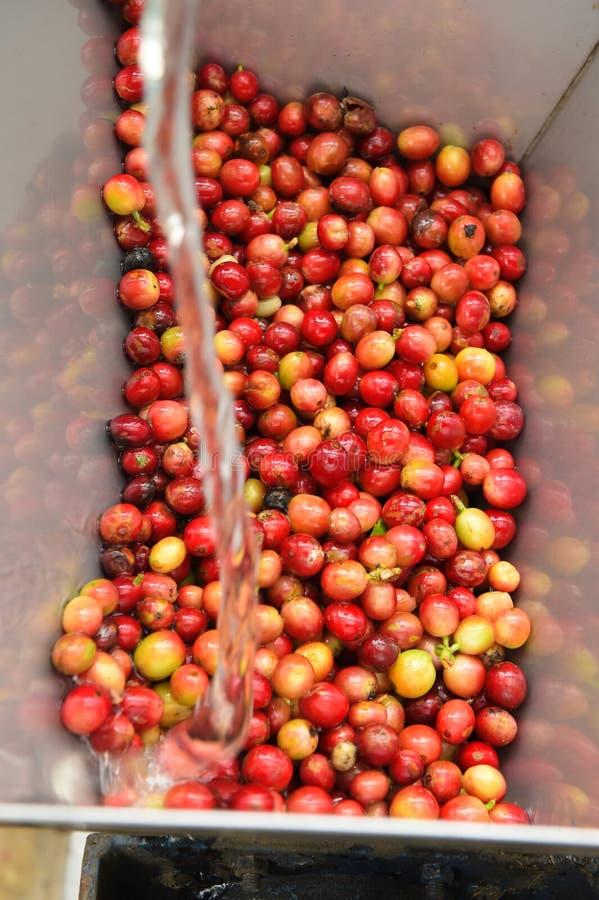 Kaffeebohnen, in der Ferment- und Wäschemethode stockbild