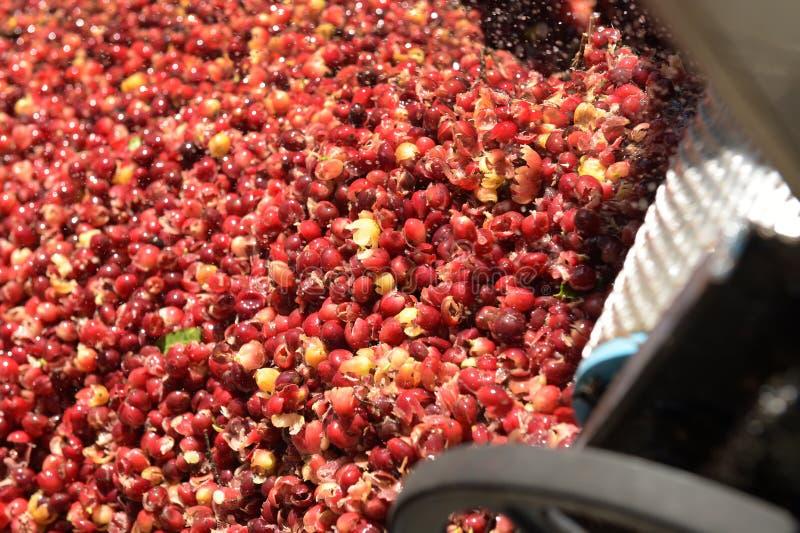 Kaffeebohnen, in der Ferment- und Wäschemethode lizenzfreies stockbild