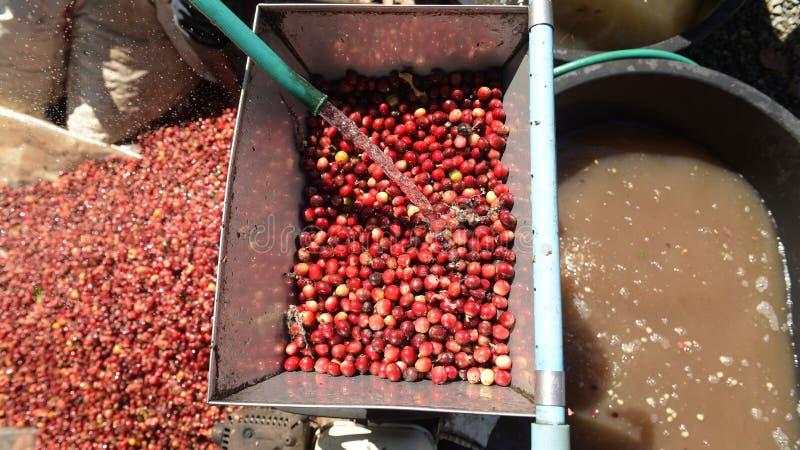 Kaffeebohnen, in der Ferment- und Wäschemethode stockbilder