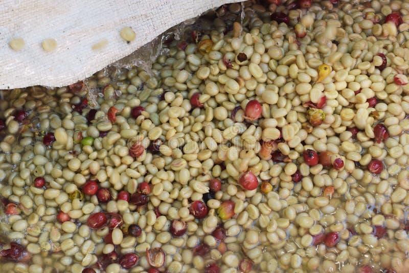 Kaffeebohnen, in der Ferment- und W?schemethode stockfotografie