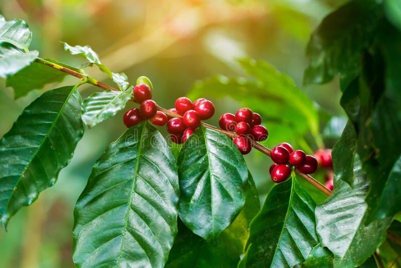 Kaffeebohnen, die auf Baum im Norden von Thailand reifen stockfotografie