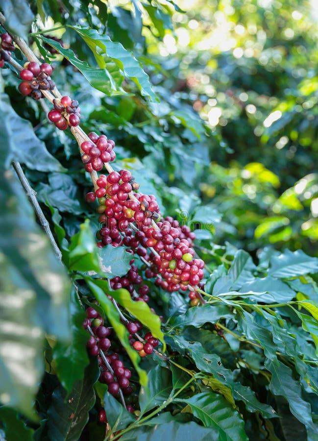 Kaffeebohnen, die auf Baum reifen lizenzfreies stockfoto