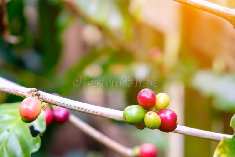 Kaffeebohnen, die auf Baum in Thailand reifen lizenzfreie stockfotos