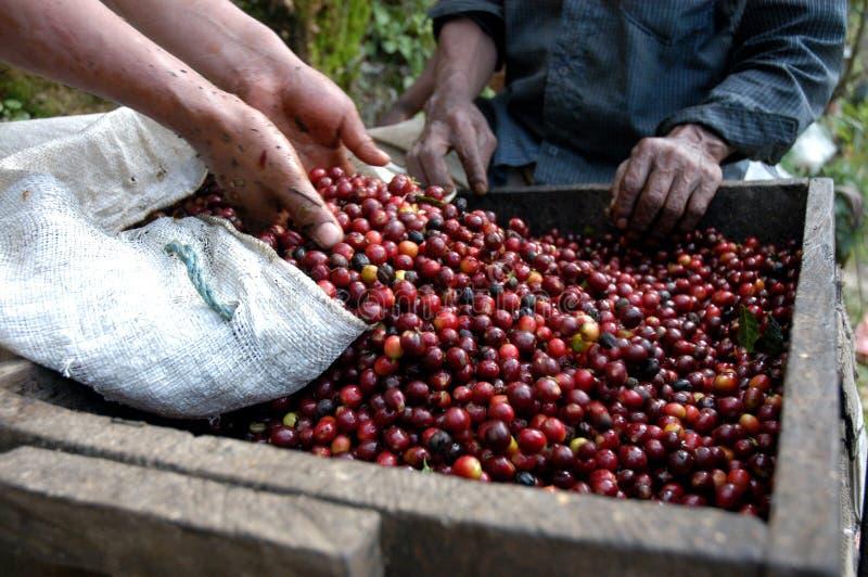 Kaffeebohnen Guatemala stockfotografie