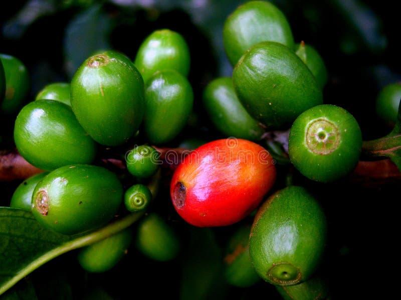 Kaffeebohnen in Natura lizenzfreie stockfotos