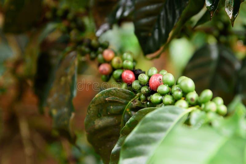 Kaffeebohnen rot und grünes Reifen auf Baum lizenzfreie stockbilder
