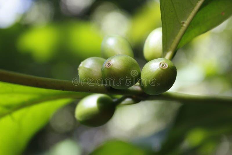 Kaffeefrucht an einem sonnigen Tag lizenzfreie stockbilder