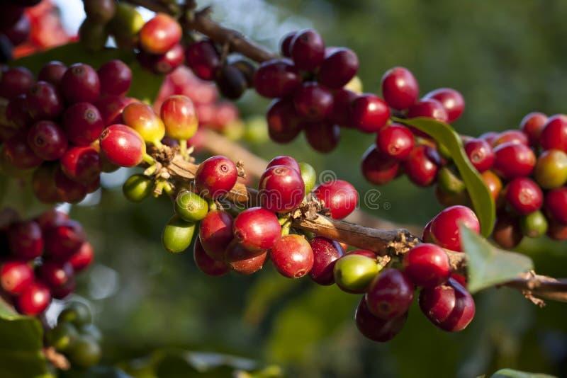 Kaffeekirsche stockfotografie