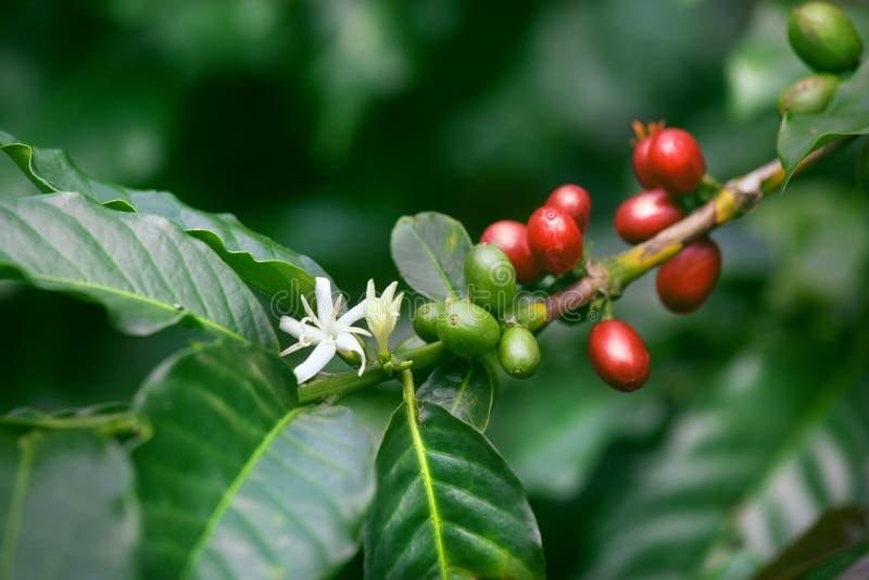 Kaffeekirschen und Blüte lizenzfreies stockfoto
